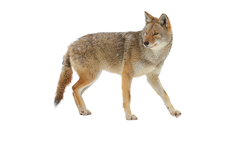 Humane coyote trapping and removal