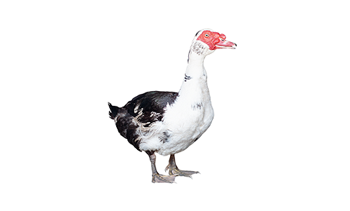 Humane muscovy trapping and removal