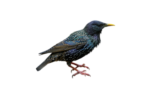 Humane starling trapping and removal